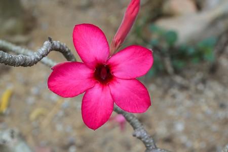 adenium: red Adenium obesum flower in garden