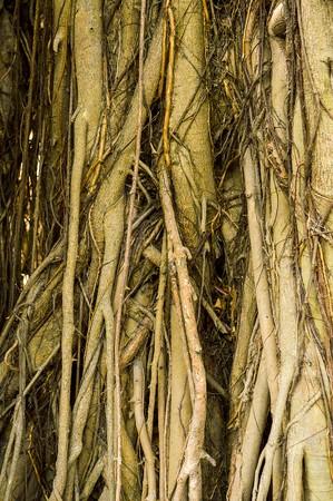 banyan: Banyan roots in garden Stock Photo