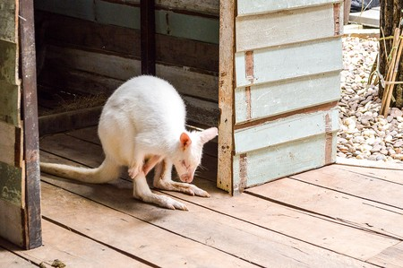 wallaby: wallaby in Thailand Stock Photo