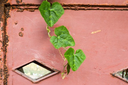 Ivy gourd on iron wall photo