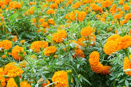 Marigold flower in garden photo