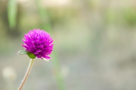 Globe Amaranth flower in garden photo