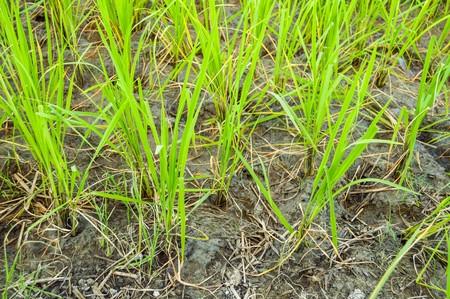 rice tree in green field