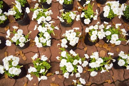 white petunia flower in garden