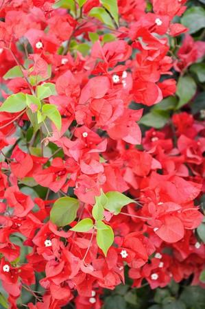 red Bougainvillea flower in garden photo