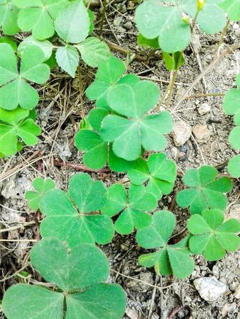 sour clover: green clover tree in garden Stock Photo