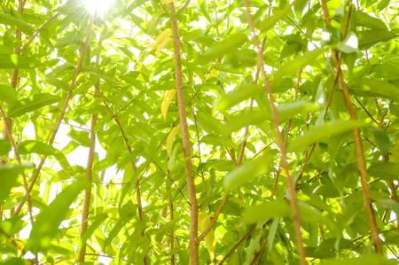 religiosa: Wrightia religiosa Benth tree in garden