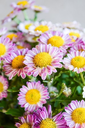 Chrysanthemum flower in garden (Dendranthemum grandifflora) photo
