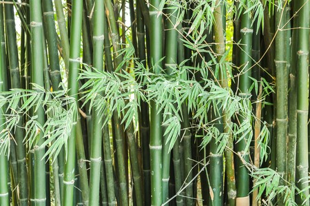 green bamboo tree in garden