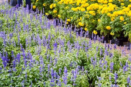 garden marigold: Lavandula flower and marigold flower in garden Stock Photo