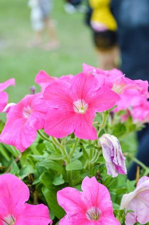 ピンクのペチュニアの花の庭