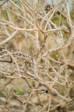sanctum: Dry basil tree in garden (Ocimum sanctum)