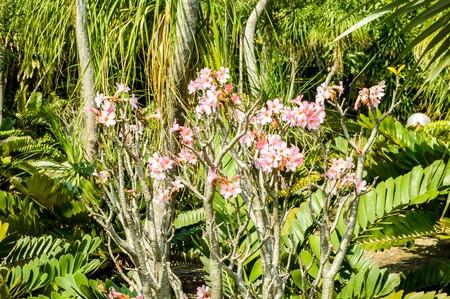 adenium: pink Adenium obesum flower in garden