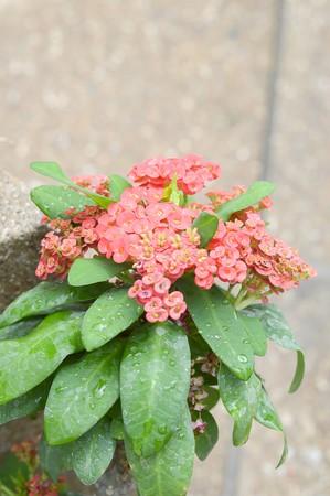 pink Euphorbia flower in garden Imagens