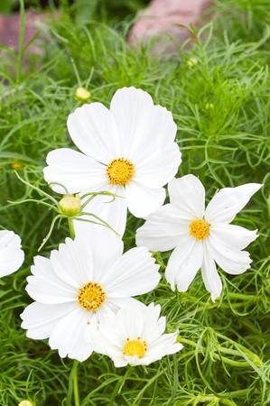 cosmos flower: white cosmos flower in garden