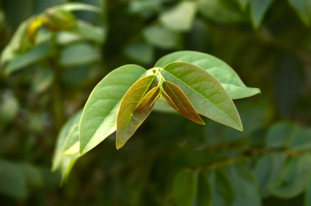 Green leaf star gooseberry in garden