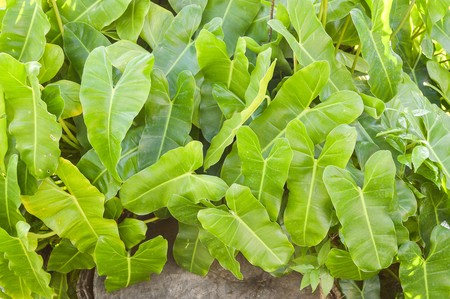 fresh green leaf philodendron