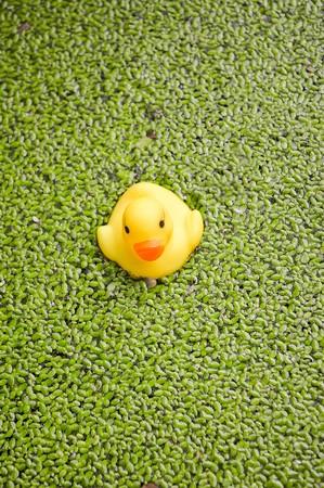 duckweed: yellow plastic duck doll on duckweed