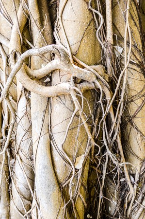 banyan: banyan tree in garden Stock Photo