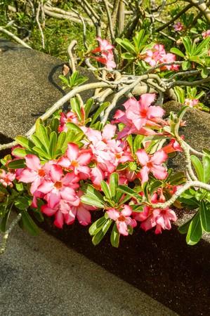 obesum: pink Adenium obesum flower in garden