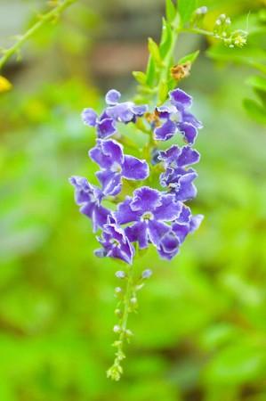 repens: purple Pigeon berry flower in garden (Duranta repens L.)