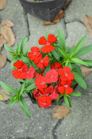 dianthus: red Dianthus flower in garden (Dianthus chinensis) Stock Photo