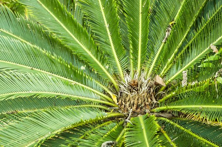 trees with thorns: green Cycad tree in garden (Cycadales)