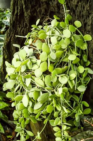 MILLION: close up green leaves of million heart tree