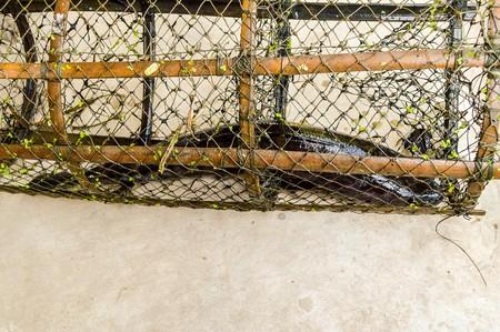entrap: Striped snakehead fish on wood trap Stock Photo