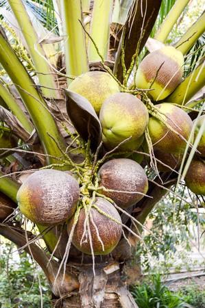 cocos nucifera: coconut tree in garden (Cocos nucifera)