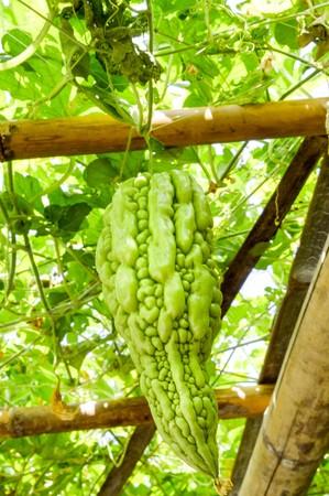 bitter cucumber in garden