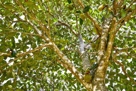 nautral: jackfruit tree in garden Stock Photo