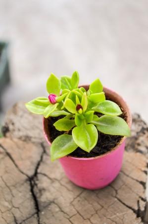 baby rose flower or aptenia cordifolia flower in pink plastic pot