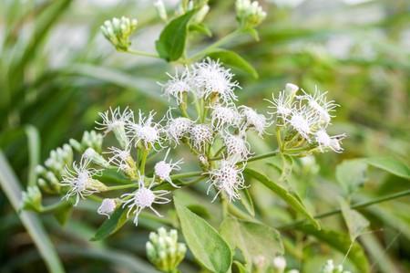 Bitter bush grass in garden (Chromolaena odorata)