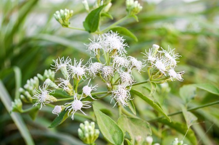 whitern: Bitter bush grass in garden (Chromolaena odorata)