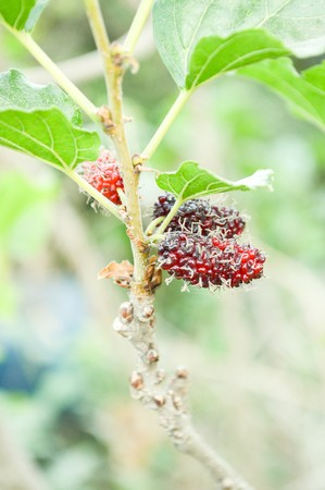 mulberry: mulberry tree in garden