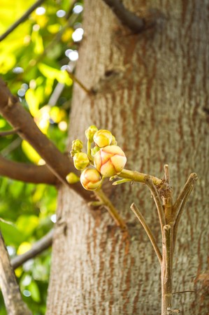 cannonball: Cannonball Tree in garden