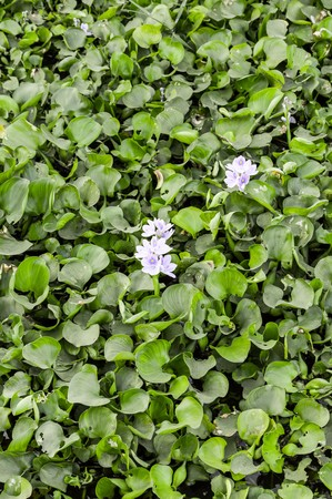 water hyacinth: Water Hyacinth tree in river (Eichhornia crassipes) Stock Photo