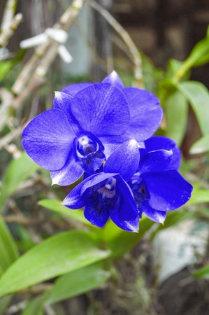 blue orchid: blue orchid flower in garden