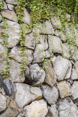 ivy wall: stone wall in garden