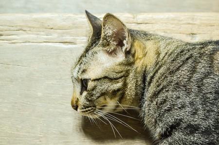 pussycat: tabby cat