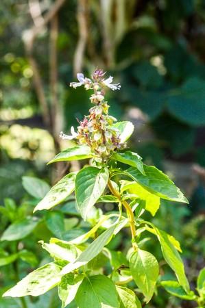 sanctum: basil tree in garden (Ocimum sanctum)