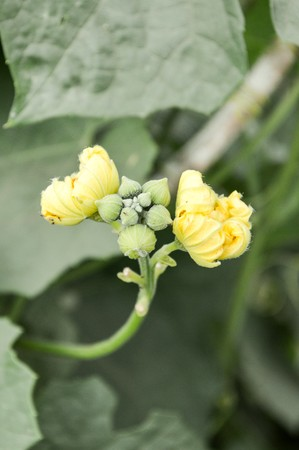luffa: Sponge Gourd flower in garden (Luffa cylindrica)
