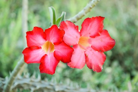 adenium obesum: red Adenium obesum flower in garden