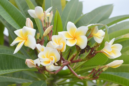 plumeria flower in garden photo