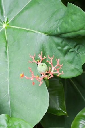 Gout Plant flower in garden