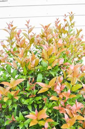 christina: Christina tree in garden (Syzygium australe)
