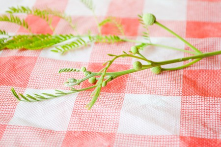 acacia tree tablecloth (Acacia auriculiformis Cunn) Stock Photo