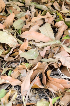 Dry mango leaves on the ground