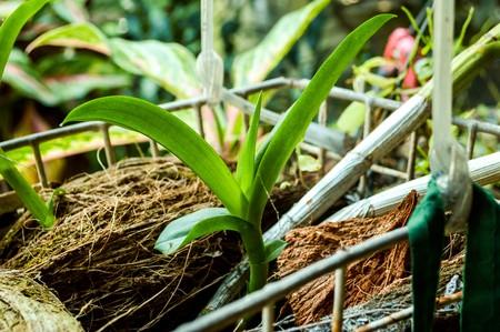 orchid tree: �rbol joven de orqu�deas en el jard�n
